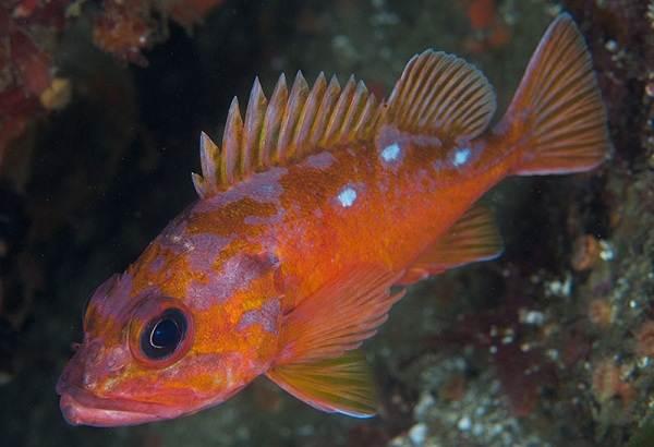 Ядовитые-рыбы-Описания-особенности-и-названия-ядовитых-рыб-12