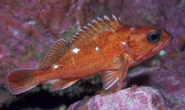 Ядовитые-рыбы-Описания-особенности-и-названия-ядовитых-рыб-13