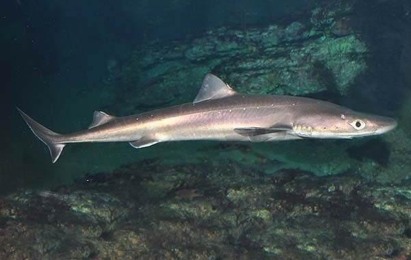 Ядовитые-рыбы-Описания-особенности-и-названия-ядовитых-рыб-15