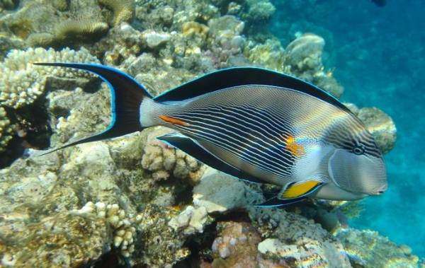 Ядовитые-рыбы-Описания-особенности-и-названия-ядовитых-рыб-16
