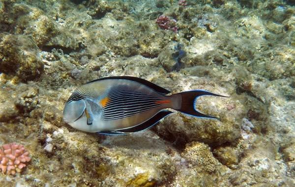 Ядовитые-рыбы-Описания-особенности-и-названия-ядовитых-рыб-17
