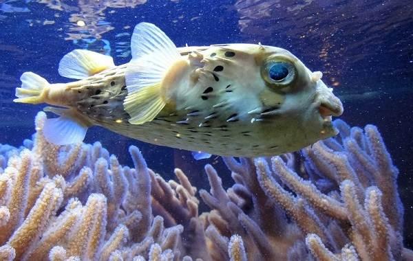 Ядовитые-рыбы-Описания-особенности-и-названия-ядовитых-рыб-18