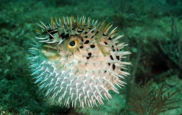 Ядовитые-рыбы-Описания-особенности-и-названия-ядовитых-рыб-19