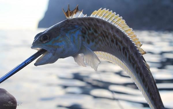 Ядовитые-рыбы-Описания-особенности-и-названия-ядовитых-рыб-2