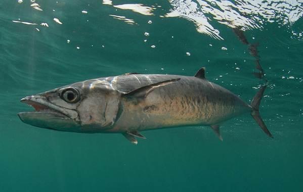 Ядовитые-рыбы-Описания-особенности-и-названия-ядовитых-рыб-22