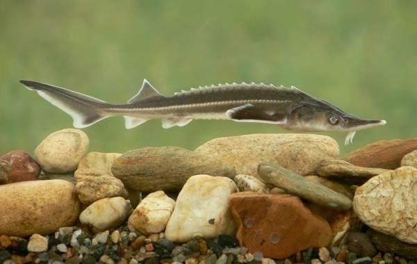 Ядовитые-рыбы-Описания-особенности-и-названия-ядовитых-рыб-24