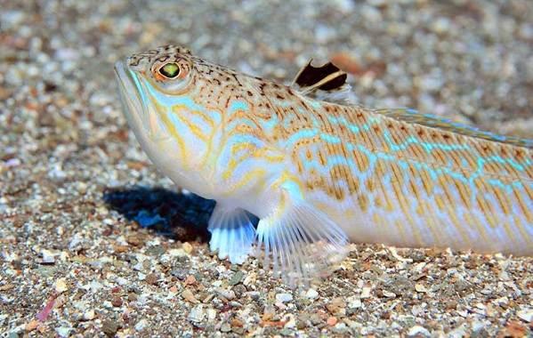 Ядовитые-рыбы-Описания-особенности-и-названия-ядовитых-рыб-3