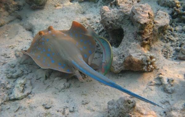 Ядовитые-рыбы-Описания-особенности-и-названия-ядовитых-рыб-4