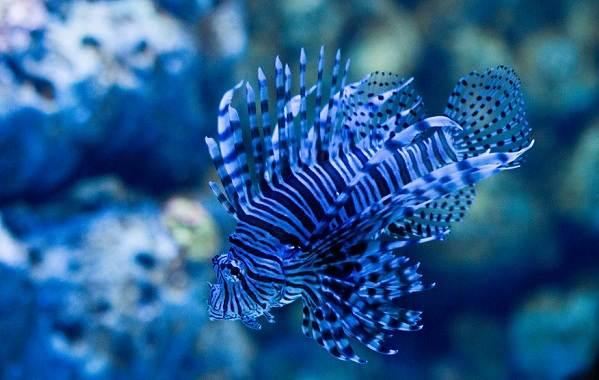 Ядовитые-рыбы-Описания-особенности-и-названия-ядовитых-рыб-7