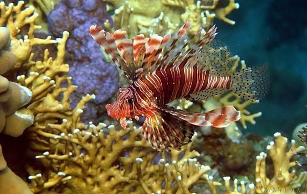 Ядовитые-рыбы-Описания-особенности-и-названия-ядовитых-рыб-8