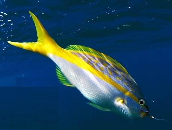 Лакедра-рыба-Описание-особенности-образ-жизни-и-среда-обитания-лакедры-2