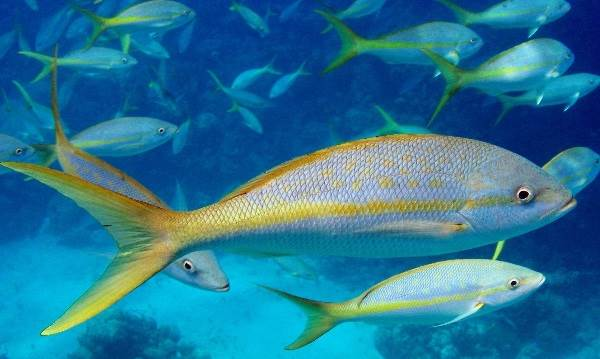 Лакедра-рыба-Описание-особенности-образ-жизни-и-среда-обитания-лакедры-5
