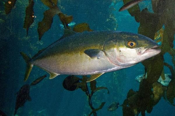 Лакедра-рыба-Описание-особенности-образ-жизни-и-среда-обитания-лакедры-6