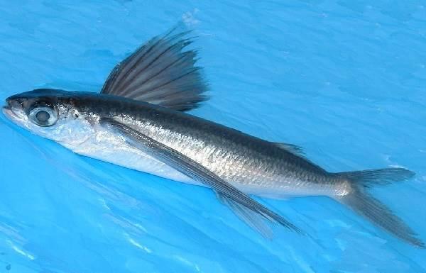 Летучая-рыба-Описание-особенности-образ-жизни-и-среда-обитания-летучей-рыбы-2
