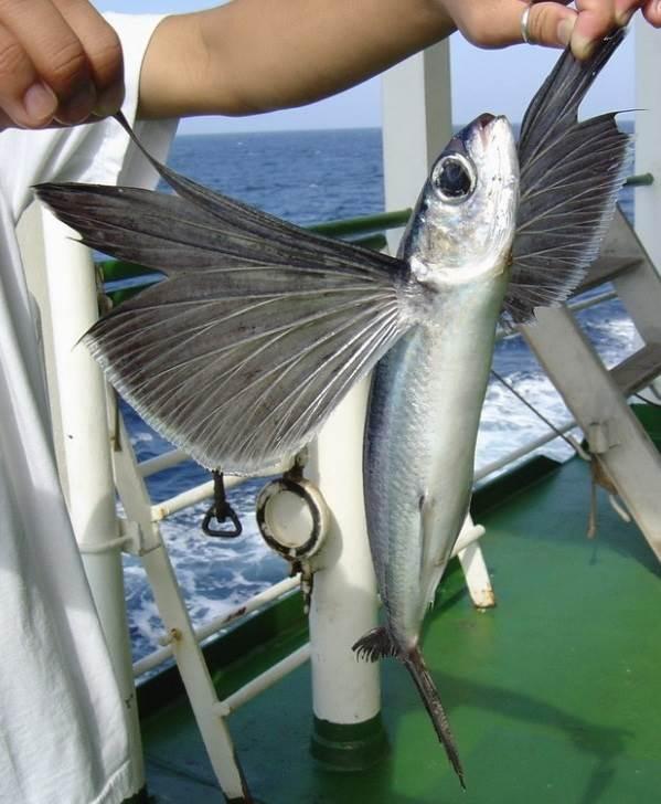 Летучая-рыба-Описание-особенности-образ-жизни-и-среда-обитания-летучей-рыбы-5