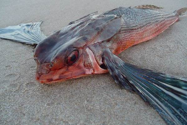 Летучая-рыба-Описание-особенности-образ-жизни-и-среда-обитания-летучей-рыбы-6