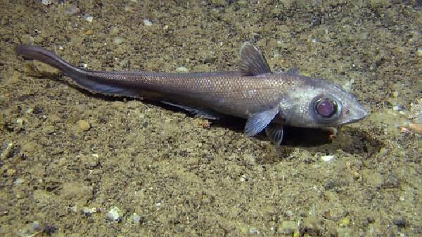 Макрурус-рыба-Описание-особенности-образ-жизни-и-среда-обитания-макруруса-10