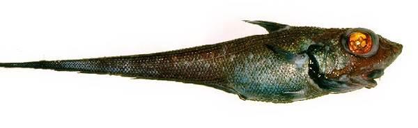 Макрурус-рыба-Описание-особенности-образ-жизни-и-среда-обитания-макруруса-8