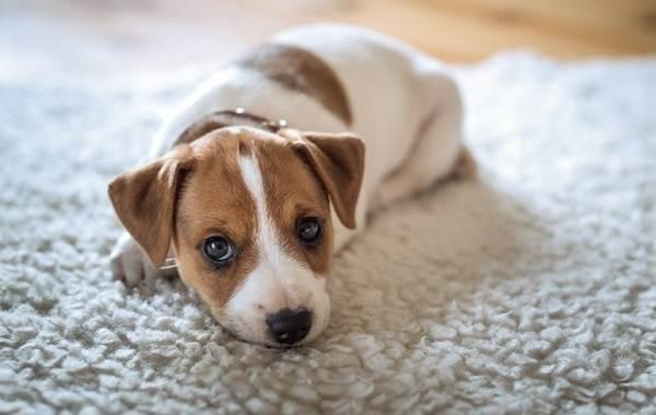 Сколько-живут-собаки-15