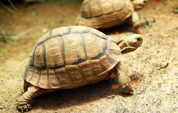 Животные-Египта-Описания-названия-и-особенности-животных-Египта-10