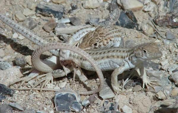 Животные-Египта-Описания-названия-и-особенности-животных-Египта-24