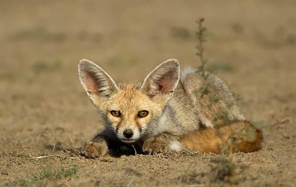 Животные-Египта-Описания-названия-и-особенности-животных-Египта-28