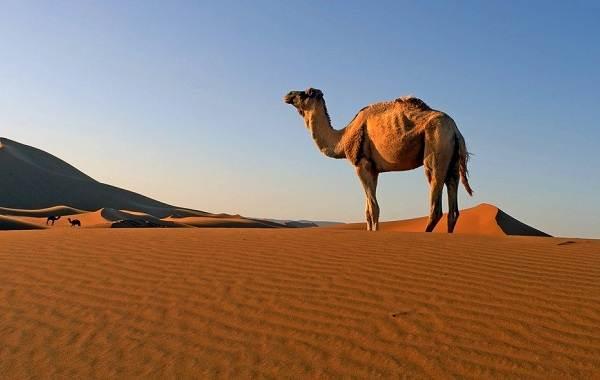 Животные-Египта-Описания-названия-и-особенности-животных-Египта-31