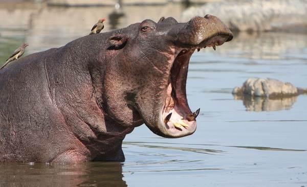 Животные-Египта-Описания-названия-и-особенности-животных-Египта-44