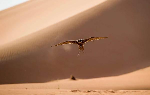 Животные-Египта-Описания-названия-и-особенности-животных-Египта-47