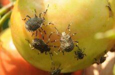 Мраморный клоп насекомое. Описание, особенности, виды, образ жизни и среда обитания мраморного клопа