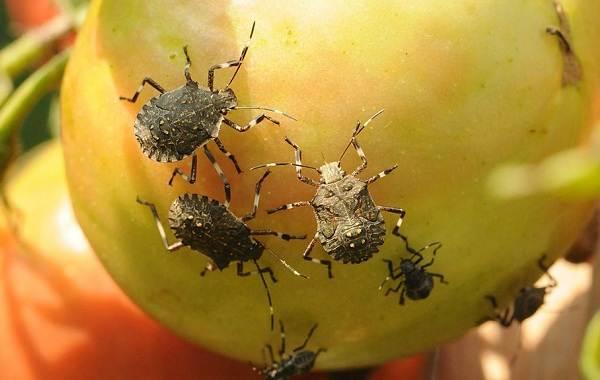Мраморный-клоп-насекомое-Описание-особенности-виды-образ-жизни-и-среда-обитания-мраморного-клопа-1