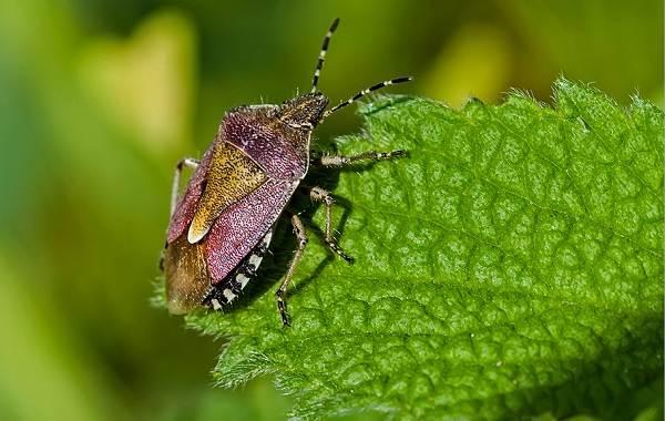 Мраморный-клоп-насекомое-Описание-особенности-виды-образ-жизни-и-среда-обитания-мраморного-клопа-10
