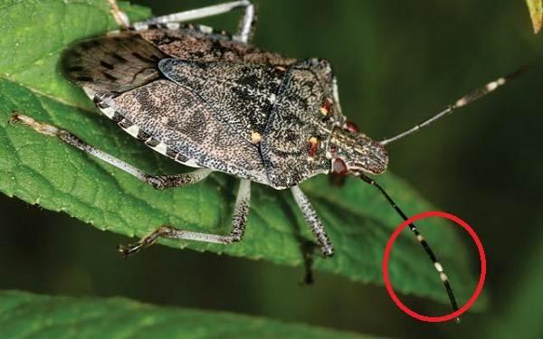 Мраморный-клоп-насекомое-Описание-особенности-виды-образ-жизни-и-среда-обитания-мраморного-клопа-11