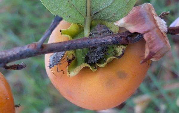 Мраморный-клоп-насекомое-Описание-особенности-виды-образ-жизни-и-среда-обитания-мраморного-клопа-13