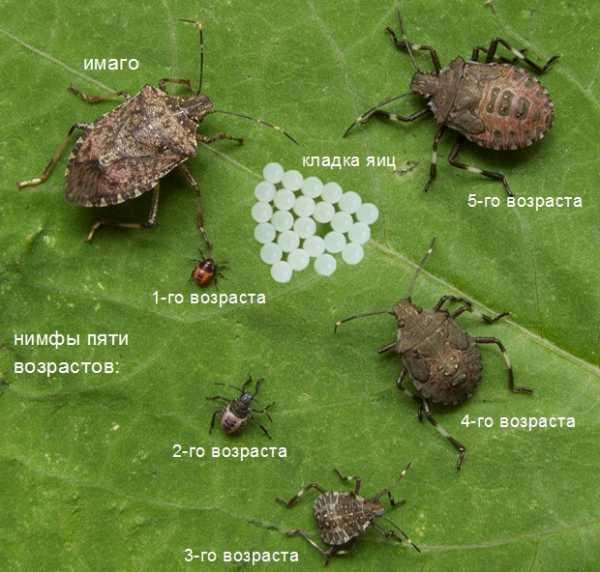 Мраморный-клоп-насекомое-Описание-особенности-виды-образ-жизни-и-среда-обитания-мраморного-клопа-14