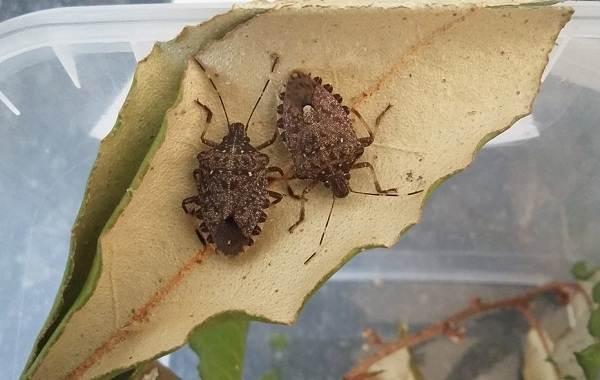 Мраморный-клоп-насекомое-Описание-особенности-виды-образ-жизни-и-среда-обитания-мраморного-клопа-15