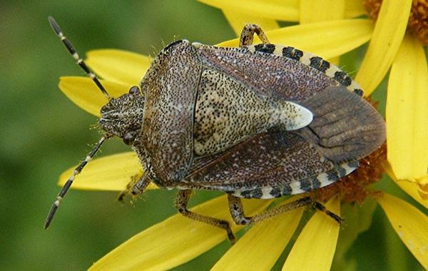 Мраморный-клоп-насекомое-Описание-особенности-виды-образ-жизни-и-среда-обитания-мраморного-клопа-16