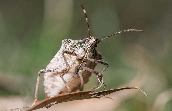 Мраморный-клоп-насекомое-Описание-особенности-виды-образ-жизни-и-среда-обитания-мраморного-клопа-17