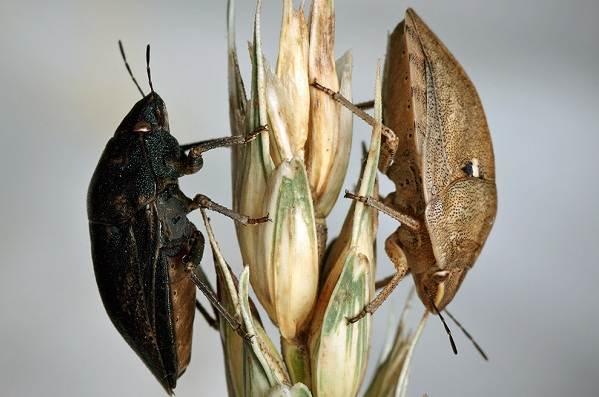 Мраморный-клоп-насекомое-Описание-особенности-виды-образ-жизни-и-среда-обитания-мраморного-клопа-4