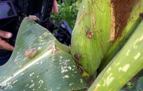 Мраморный-клоп-насекомое-Описание-особенности-виды-образ-жизни-и-среда-обитания-мраморного-клопа-6