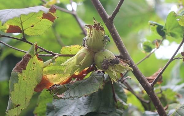 Мраморный-клоп-насекомое-Описание-особенности-виды-образ-жизни-и-среда-обитания-мраморного-клопа-7