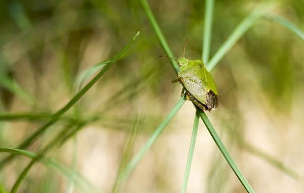 Мраморный-клоп-насекомое-Описание-особенности-виды-образ-жизни-и-среда-обитания-мраморного-клопа-8