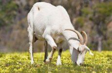 Молочные породы коз. Названия, описание, уход и содержание