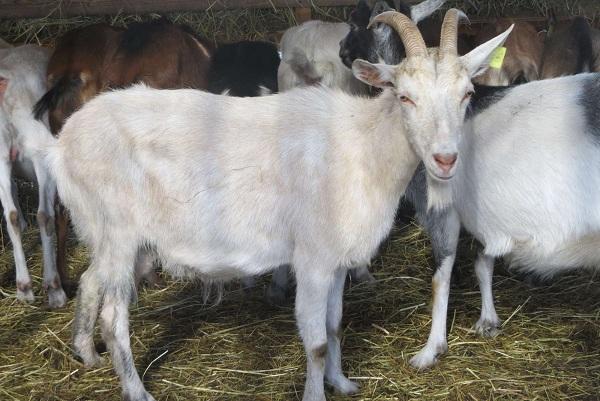 Молочные-породы-коз-Названия-описание-уход-и-содержание-11