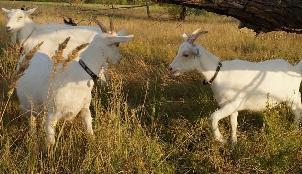 Молочные-породы-коз-Названия-описание-уход-и-содержание-3