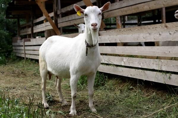 Молочные-породы-коз-Названия-описание-уход-и-содержание-5
