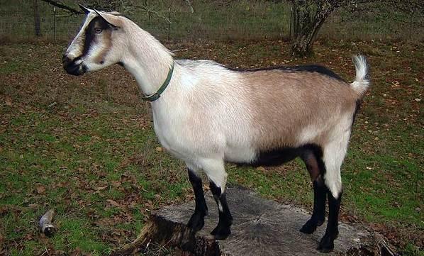 Молочные-породы-коз-Названия-описание-уход-и-содержание-8