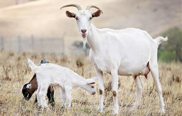 Молочные-породы-коз-Названия-описание-уход-и-содержание
