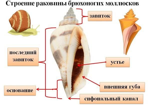 Брюхоногие-моллюски-Описание-особенности-виды-и-значение-брюхоногих-моллюсков-1