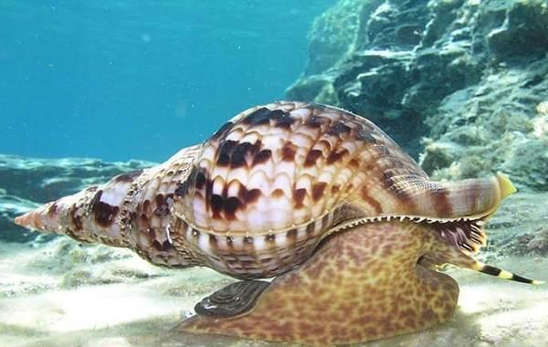 Брюхоногие-моллюски-Описание-особенности-виды-и-значение-брюхоногих-моллюсков-10